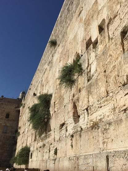 Jerusalem Wall photo from women section-The caper bush-Capparis spinosa-is the plant that grows on the West-Wailing-Wall in Jerusalem, Israel