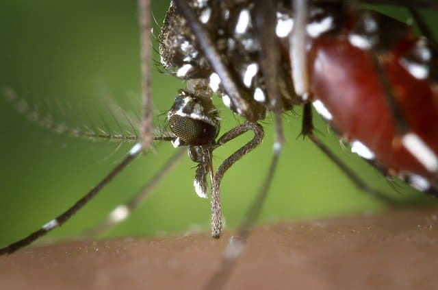 mosquito - harmful pest.