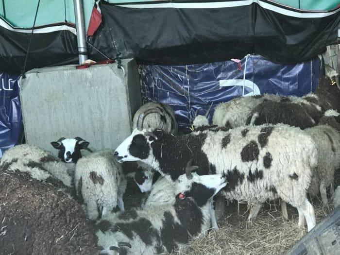 Jacob's sheep in Eitm, Efrat
