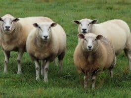 cloned sheep.