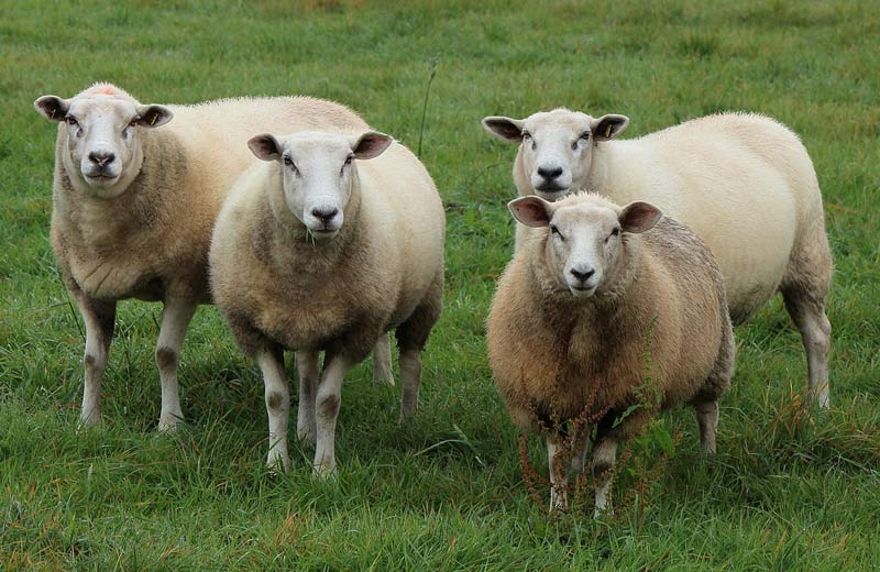 cloned sheep. eat clones, the FDA says.