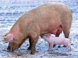 coronavirus from pigs. Image by David Mark from Pixabay