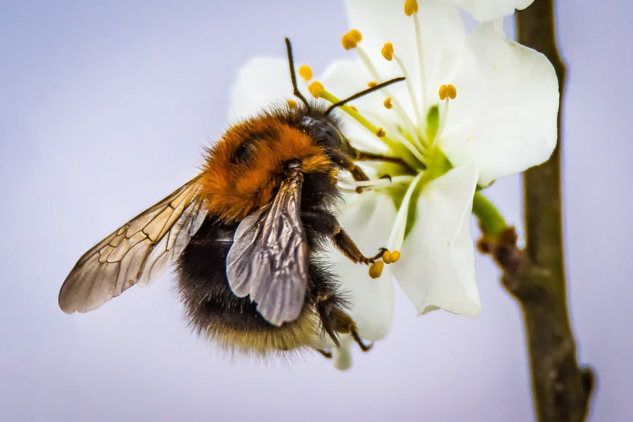 bee blossom neonics. Image by Sven Lachmann, Pixabay
