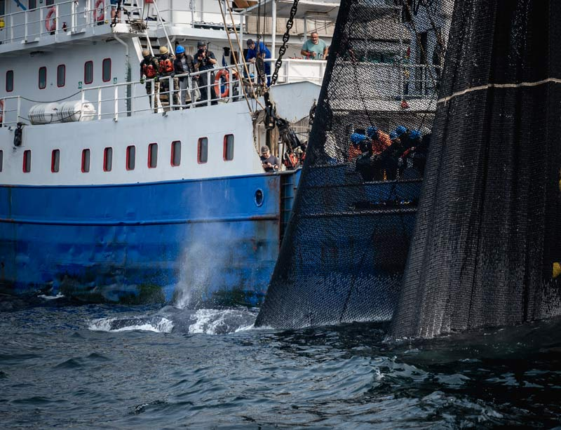 Inspection purse seiner Pont Saint Louis whale stuck in the nets. Photo by Sea Shepherd Global.