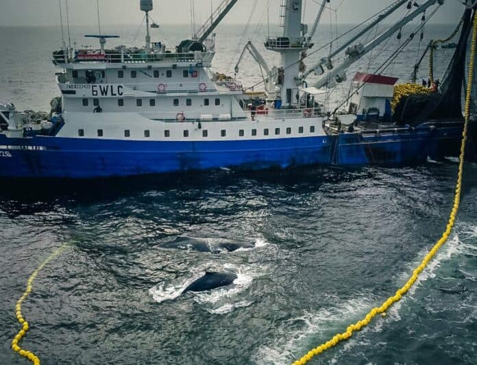 whale stuck in nets of purse seiner