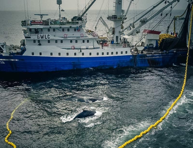 اثنان من الحيتان الأحدب عالقين في شباك من شباك السينر